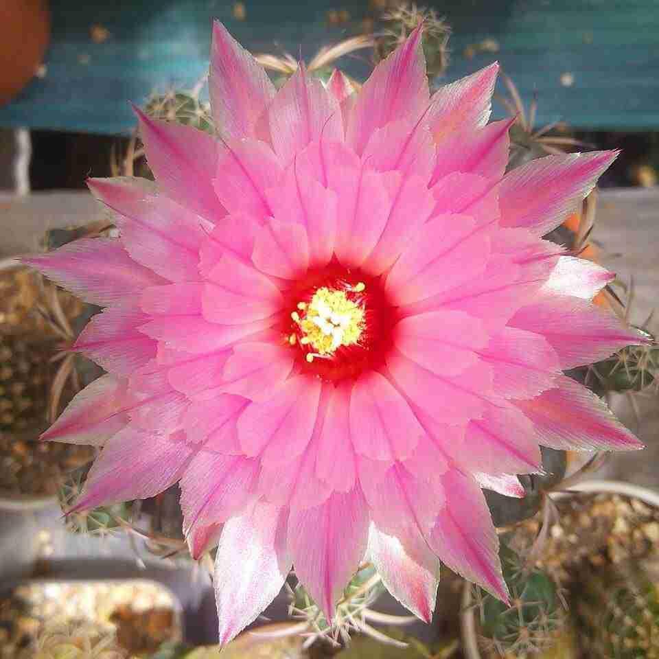 Blog de cactus pfc todo sobre cactus crasas y suculentas for Fotos de cactus