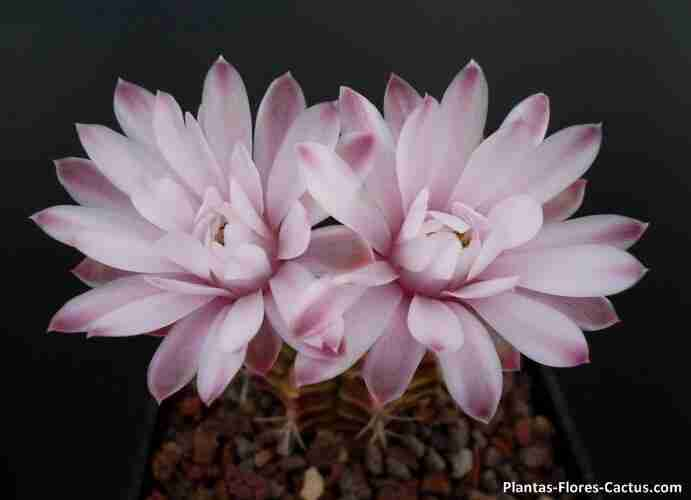 Flores de Cactus mas lindas del mundo