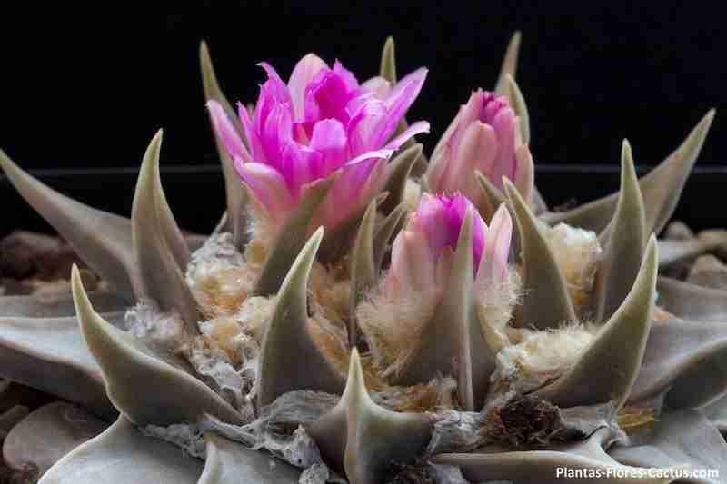 ARIOCARPUS CONFUSUS florecido