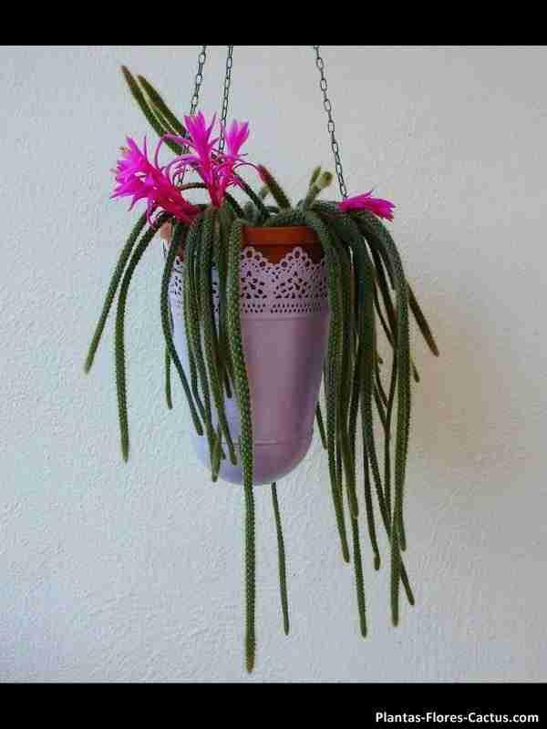 dónde colocar los cactus