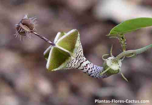 Ceropegia flor increible