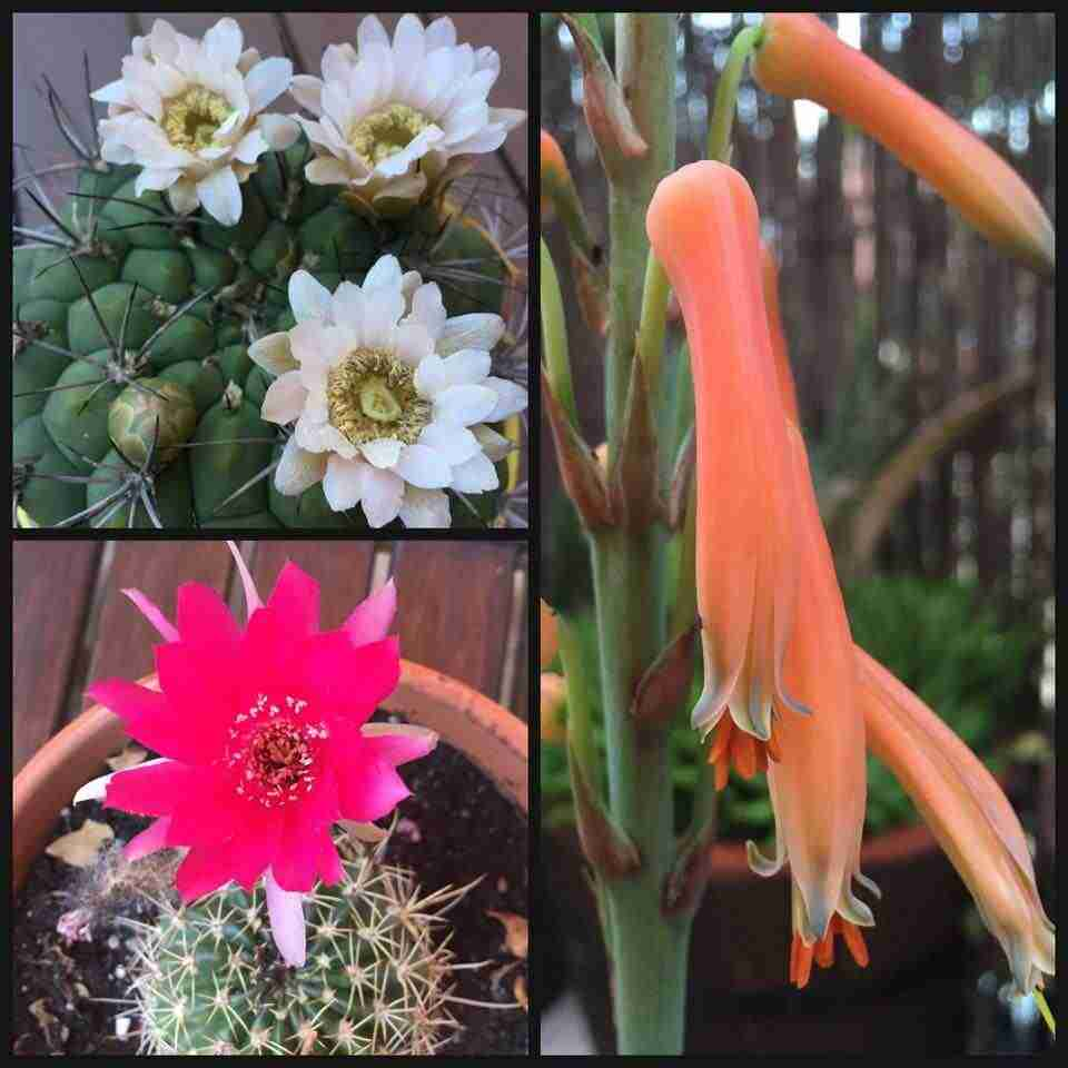 Cactus y Crasas florecidos
