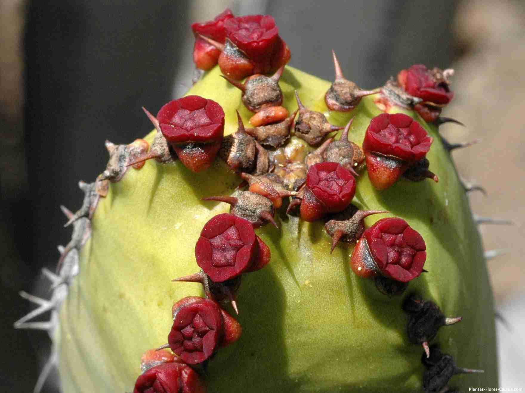 Euphorbia Nikita Flores de cactus raras