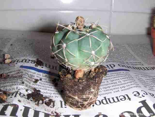mega guia para trasplantar cactus|correctamente – blog de cactus | pfc