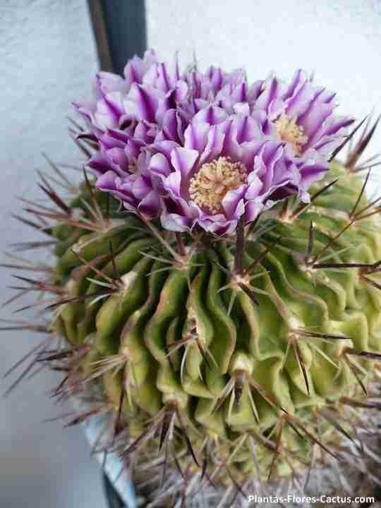 Las 10 flores mas raras del mundo de los cactus y otras for Cactus variedades