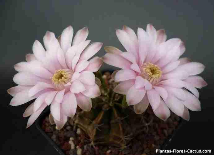 floración de cactus Gymnocalycium cactus con 2 flores color rosadas y centro amarillo (muy bonitas)