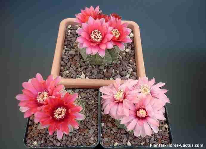 coleccionistas de cactus