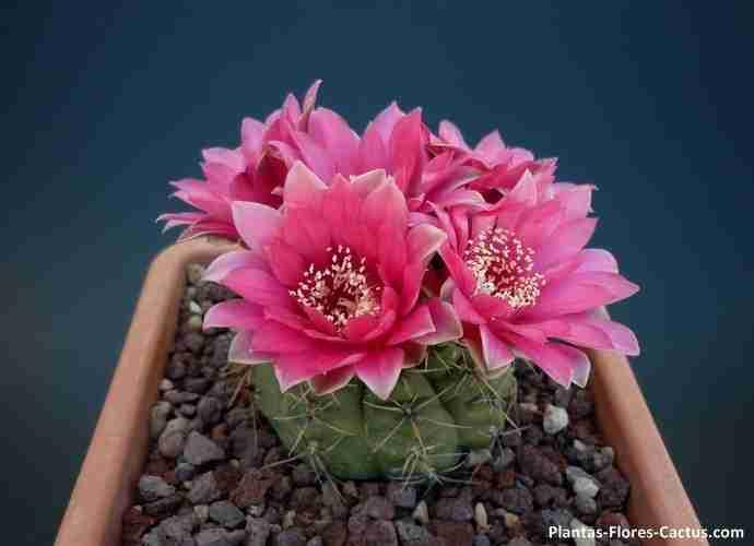 floración de cactus Gymnocalycium 4 flores de 1 cactus, las flores son de color rosado, hermoso!