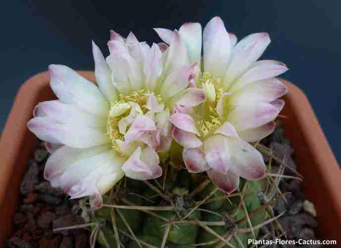 floración de cactus Gymnocalycium Cactus con 2 flores color blanca, matices rosadas y centro amarillo