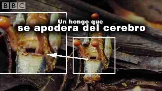 Cordyceps - Hongo que toma el control del cerebro
