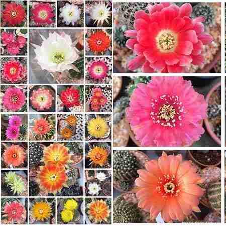 Haz Florecer Cactus sin fallar en el intento 2
