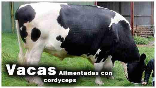 Cordyceps hongos medicinales