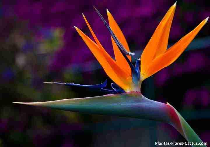 Lobelia o Flor del Pajaro