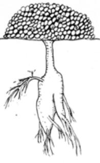 raíces de cactus Tuberosa