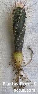Raíces de cactus Napiforme