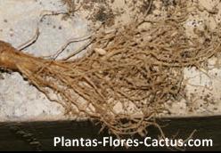 Partes del cactus