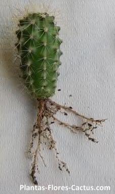 Raíces de cactus Fasciculada