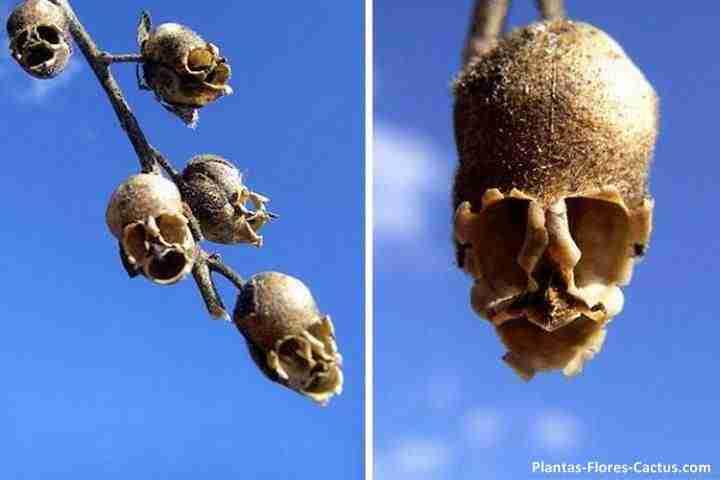 Semilla boca del dragón o semilla calavera