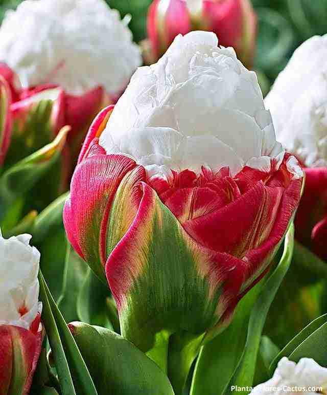 Tulipan Helado de Crema