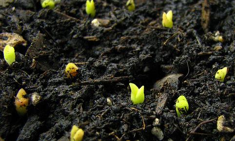 Germinar semillas