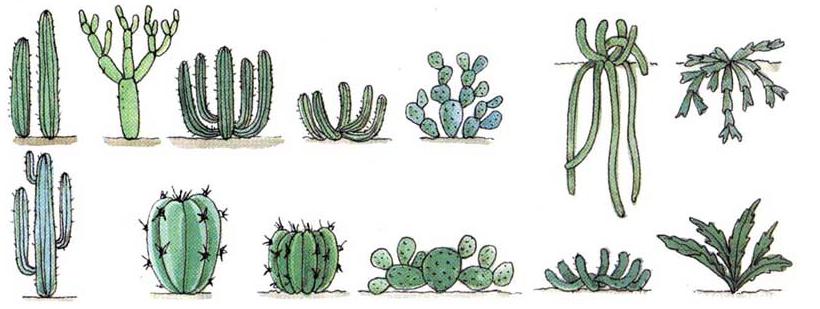 variedad de cactus