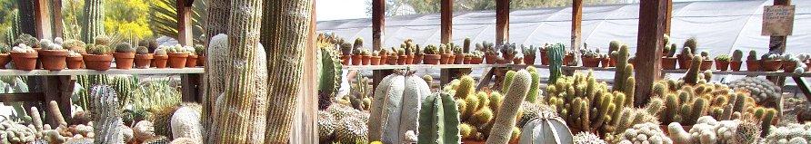 producción de cactus