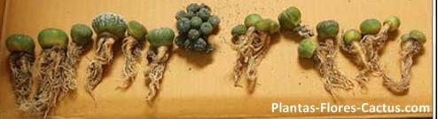 4 tipos de ra ces de cactus consejos de cultivo blog for Tipos de cactus