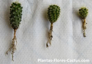 Raíces de cactus axonomorfa