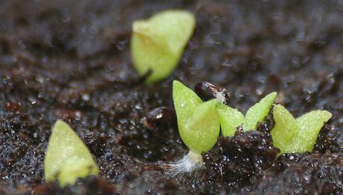 semillas creciendo