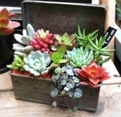 Treatments with Crasses or Succulents. & Gt; Cactus Blog | PFC
