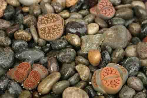 5 Secretos de los Cactus Piedras Vivas Lithops 2