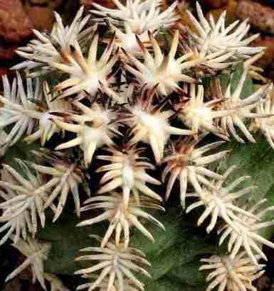 """Cactus mas pequeño del mundo Echinocereus davisii y """"brevispinus"""" 22"""