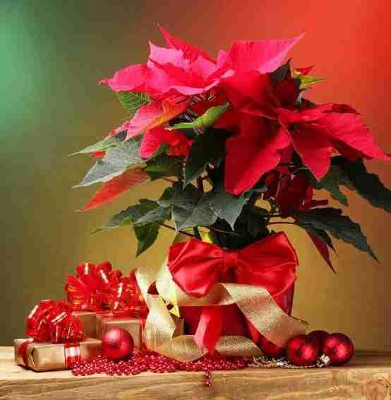 Planta de navidad secretos y cultivo nochebuena pulcherrima - Cuidados planta navidad ...