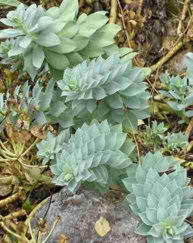 Euphorbia Myrsinites - Cola de burro