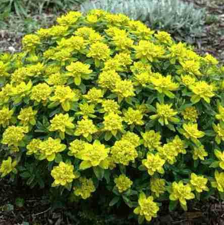 Euphorbia Polychroma