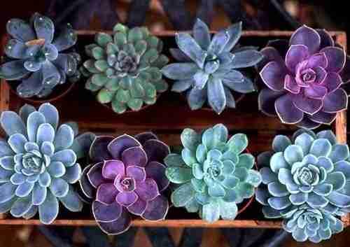 El color de las suculentas ¿Como lograr esos tonos? 4