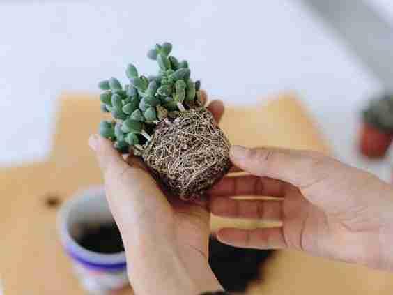 3 Secretos para tener cactus hermosos 7